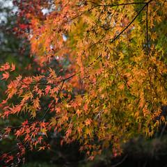 TOKUSHIMA DAYS - Kamiyama forest park (junog007) Tags: autumn tree japan leaf nikon shikoku tokushima autumnalleaves d800 2470mm kamiyama nanocrystalcoat