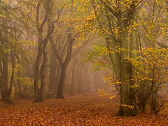 Autumn Luster (Damian_Ward) Tags: wood morning autumn trees mist fall misty fog forest woodland photography buckinghamshire foggy autumnal beech thechilterns chilternhills damianward ©damianward