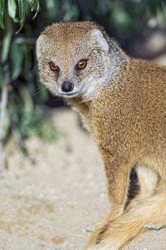 Yellow mongoose looking at me
