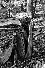 Vue rapproche/Close-up (bob august) Tags: autumn trees bw canada fall automne blackwhite nikon montral noiretblanc arbres qubec leafs feuilles octobre ahuntsic 2015 d90 montreal nikkor1735mm nikond90 slowphotography aperture3 parcduboisedesaintsulpice