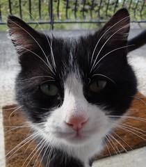 Felix (Tiolu.) Tags: animal chat felix animaux