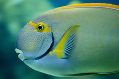 Acanthurus dussumieri - Dussumier's Tang (Going to the Zoo with Trebaruna) Tags: valencia animal zoo aquarium spain zooanimal loceanografic 2013 loceanograficvalencia aquariumvalencia 19092013