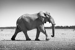 Etosha (Namibia) (renan4) Tags: africa trip travel wild bw white elephant black nature animals walking blackwhite nikon safari nikkor namibia animalplanet renan etosha d800 afrique 70200mm namibie gicquel renan4 70200mmf4vr