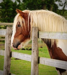 (karenpym) Tags: horses horse rescue brown white black color eye beautiful beauty face grass hair nose star interesting eyes head farm gorgeous ears pasture his quarter sammy capture coolest markings mane intelligent snip eyeing forelock