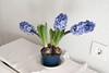 los bulbos (mati-hari) Tags: flores tallo azul hojas flora plantas bulbos tiestos jacintos