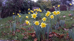 Daffs (Mandy Willard) Tags: 365 0812 2015th51