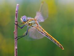 naturalmente liblula (Santi BF) Tags: macro closeup bug dragonfly bicho liblula odonata anisoptera sympetrum sympetrumfonscolombii libllula odonato anisptero
