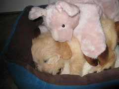 this-is-zenon--shes-one-of-toby-and-lillys-little-girs--she-loves-her-new-litter-mate-piggy-_2710766296_o