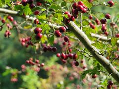 IMG_5237 (jaglazier) Tags: 2016 91416 bielefeld copyright2016jamesaglazier deciduoustrees fruittrees germany september teutoburg teutoburgforest teutoburgerwald trees fruit parks