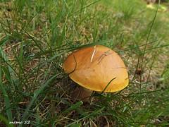 Trentino (Italy) (memo52foto) Tags: erterle roncegno valsugana trento italia fungo funghi