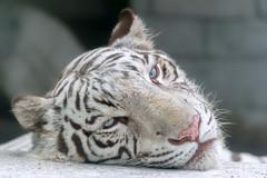 Sky  - Sleepy-Head (Harimau Kayu (AKA Sumatra-Tiger)) Tags: sky tiger zoo animal bigcat bigcats feline bengaltiger pantheratigristigris knigstiger indischertiger eltigredebengala tigredubengale latigrerealedelbengala   whitetiger weisertiger tigreblanco tigreblancroyal   zooshot tobu tobuzoo snowwhite sunbathing canada playful playfulcat playfultiger playfulwhitetiger bengal sex blueeyes curiosity