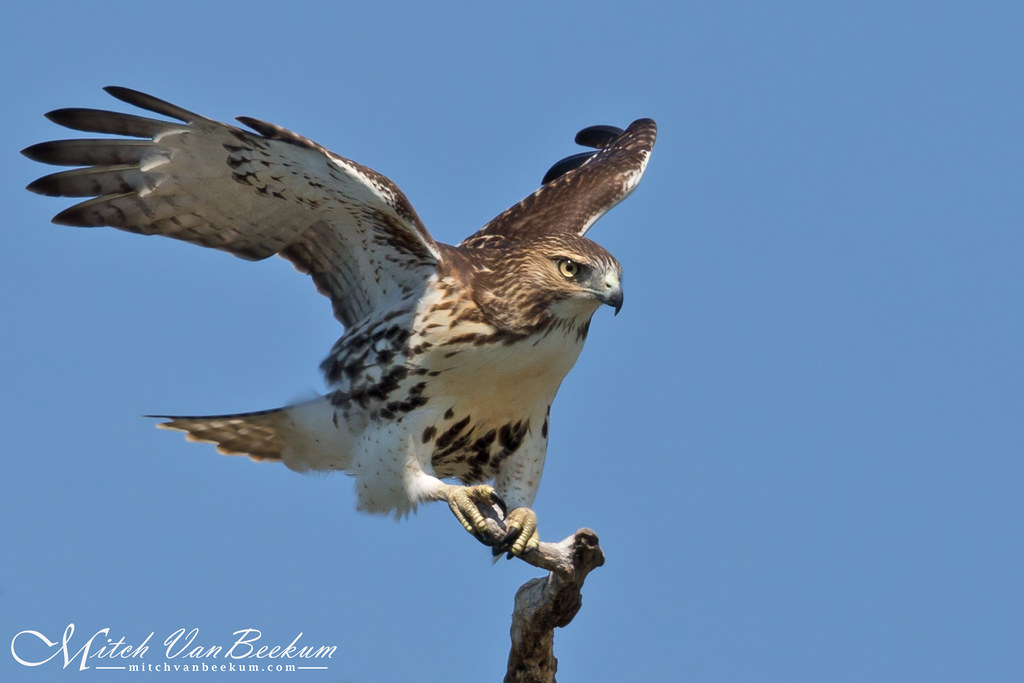 Target Practice (Red-tailed Hawk)
