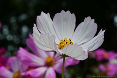 Cosmos flower (Sandra Kirly Pictures) Tags: cosmosflower cosmos flower budapest hungary botanicalgarden fvszkert outdoor summer nature plant flowers