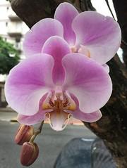rvores e orqudeas. (Elias Rovielo) Tags: spring primavera flores flowers ruaoscarfreire sopaulo orqudeas orchids