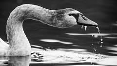 Mute Swan (Ben Porter Wildlife Photography) Tags: blackandwhite bw muteswan water waterfowl winterwildlife autumn autumn2016 creative birds birdphotography nikond810 300mmf28 droplets
