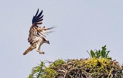 Osprey Returning to Nest (www.facebook.com/PaulSmithWildlife) Tags: wildlife nature scotland highlands springwatch summerwatch bird birdofprey flight osprey