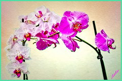 Orchids 2 (JAKE473) Tags: orchids mauve white flowers ngc