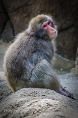 DSC_2389 ts (Photos by Kathy) Tags: cincinnatizoo animals zoo zoos nature kathymoore nikon2000 primate macaque japanesemacaque