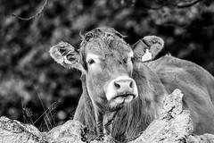 More 'Jade' #2 (gavsidey) Tags: jade photooftheday cow portraits chatsworth derbyshire bovine black white textures