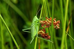 Grote Groene Sabelsprinkhaan 030716 (johnv2400) Tags: grote groene sabelsprinkhaan tettigonia viridissima nimf