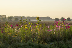 West-Zeeuws-Vlaanderen (wietsej) Tags: westzeeuwsvlaanderen sony rx10m3 sunrise flowers landscape