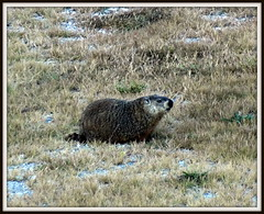 (uncle mike in knoxville) Tags: groundhog woodchuck