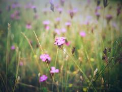 Summer Meadow (Petr Horak) Tags: arboriculture blooming blossom closeup floriculture flower flowering macro outdoor photography plant summer weed novknn stedoeskkraj czechrepublic cze