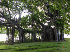The Banyan Tree at Crescent Lake Park (nickmickolas) Tags: banyantree crescentlake crescentlakepark 2016 stpetersburg fl
