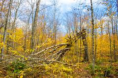 Nature force, Sandy Cope Trail (wpc302) Tags: novascotia nikon ns nature canada ca halifax rogartmountain autumn fall color leaf maple tree earltown sandycopetrail gullylake