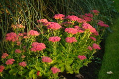 In Evening Light (Dave Roberts3) Tags: wales glamorgan cardiff butepark flowers red leaf grass ornamental sedum coth