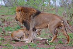 Lions (Panthera leo) horny couple (berniedup) Tags: lowersabie kruger lion pantheraleo taxonomy:binomial=pantheraleo