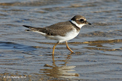 Common Ringed Plover 391642hb (dirkhuitzing) Tags: commonringedplover bontbekplevier charadriushiaticula