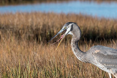 Great Blue heronYawn (jim sonia) Tags: bird birds usa massachusetts plumisland places greatblueheron