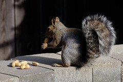 Squirrel (TheYoungsOnline) Tags: squirrel grey gray peanuts backyard