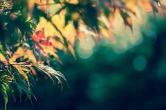 E quando esce il sole, cambia tutto ((Raffaella@)) Tags: bokeh luce light acero casa pianta albero tree foglie lieves macro canon colori colors bubble
