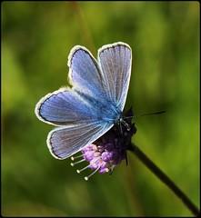 Male Common Blue on Devilsbit Scabious II (glostopcat) Tags: commonbluebutterfly butterfly insect invertebrate devilsbitscabious wildflower glos butterflyconservation prestburyhillnaturereserve