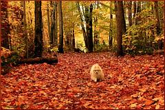 Promenade de Chanel (Huguette T.) Tags: chanel chien automne sentier dog arbres foret couleur