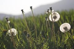 Dandelion (tom.christen) Tags: lwenzahn dandelion details detailphotography wiese grass meadow gras landscape landschaft nature grenchen solothurn schweiz suisse switzerland jura spring frhling grn wonderful wunderbar