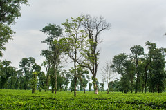 Tea garden (Rafio Islam) Tags: tea teagarden landscape green greenery tree plant sky bluesky sylhet bangladesh jaflong