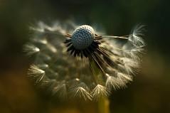 Dandelion (inge_rd) Tags: dandelion blowball pusteblume summer closeup sharp