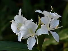 Five butterflies (alansurfin) Tags: white butterfly ginger lily flower flowers five mariposa papillon gingerlily hedychiumcoronarium schmetterling