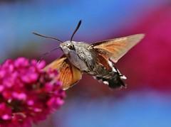 Taubenschwnzchen (Hugo von Schreck) Tags: taubenschwnzchen macroglossumstellatarum hugovonschreck hummingbirdhawkmoth outdoor insect insekt macro makro falter moth schmetterling canoneos5dsr tamron28300mmf3563divcpzda010 greatphotographers