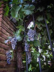 2016-11-18_OnTheVineDaily324-366 (vickievilla) Tags: caminodesantiago castrojeriz spain photopainting grapes grapevine fence