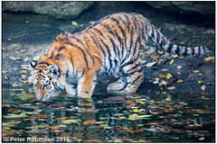 Tiger Cub (Antirrhinum) Tags: marwellzoo marwell zoo tiger cub amurtiger