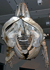 Eubalaena glacialis (North Atlantic right whale) 4 (James St. John) Tags: eubalaena glacialis north atlantic right northern whale whales mysticeti mysticete mysticetes cetacea mammal mammals skeletons cetacean cetaceans skeleton