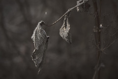 ... frost... (D.Sinkute) Tags: leaf dry autumn