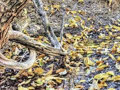 Bois d'arc Leaves (clarkcg photography) Tags: tree leaves leaf fall yellowboisdarc hedgeapple horseapple hardwood