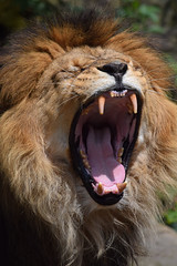 Caesar @ Artis 15-06-2016 (Maxime de Boer) Tags: caesar african lion afrikaanse leeuw big cats katachtigen natura artis magistra zoo amsterdam animals dieren dierentuin gods creation
