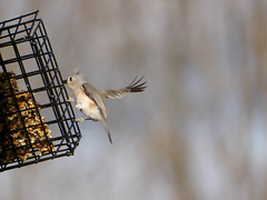 Tufted wing (grongar) Tags: bird tuftedtitmouse suet feeder