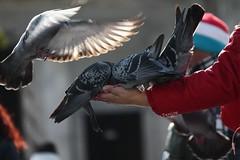 Pigeons (Denise2307) Tags: pigeons flight city